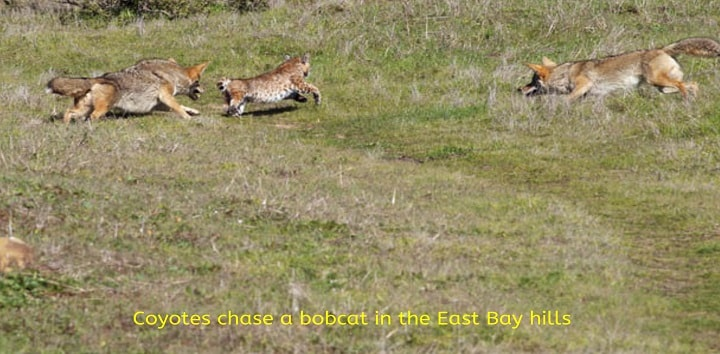 Coyotes-chase-a-bobcat-in-the-East-Bay-hills