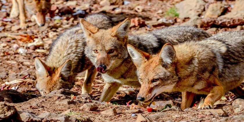 Coyotes-eating-in-pack