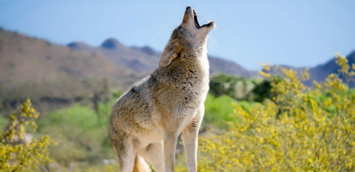 Coyotes-howl