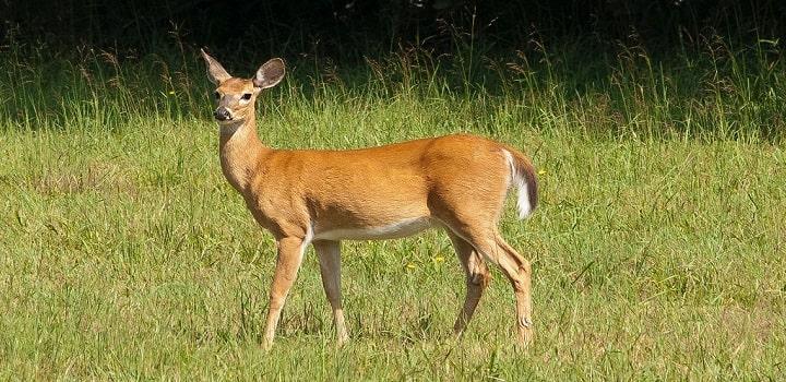 Deer-Before-Eating