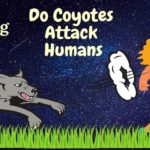 Do-Coyotes-Attack-Humans