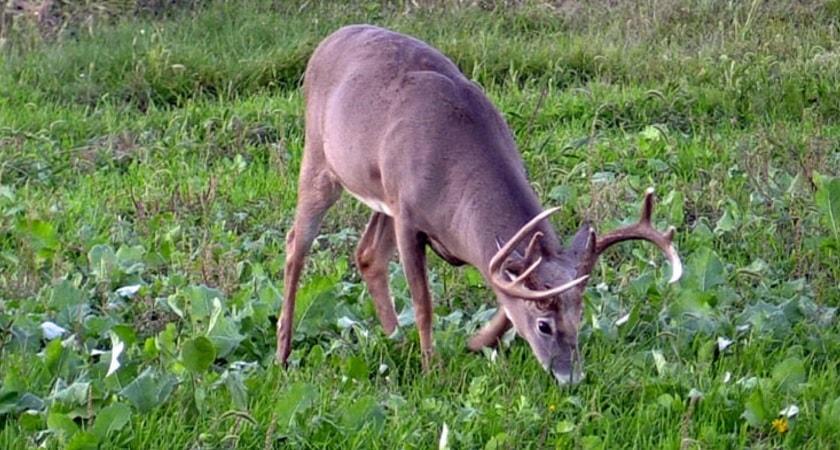 Do-Deer-Eat-Basil