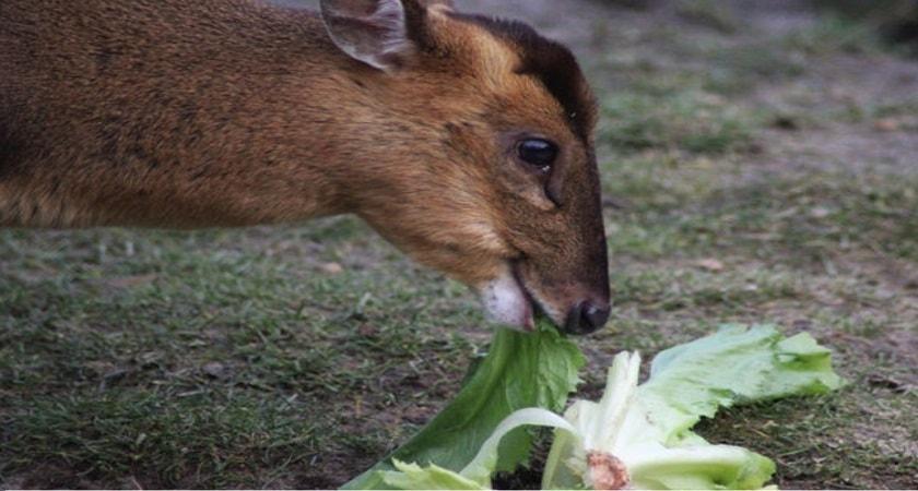 Do-Deer-Eat-Cabbage
