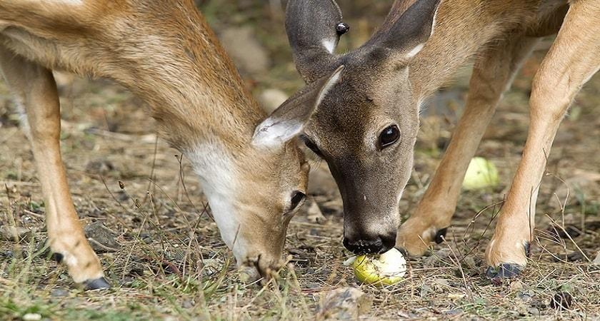Do-Deer-Eat-Oranges