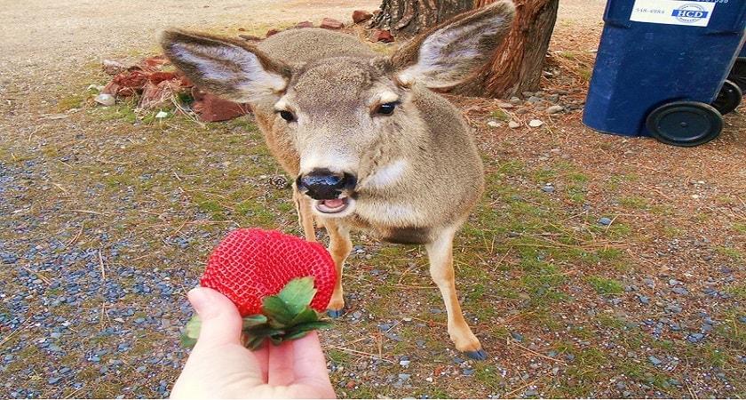 Do-Deer-Eat-Strawberries