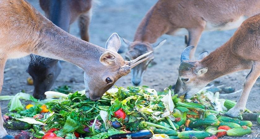 Do-Deer-Eat-cucumber
