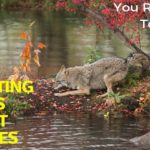 Interesting-Facts-About-Coyotes