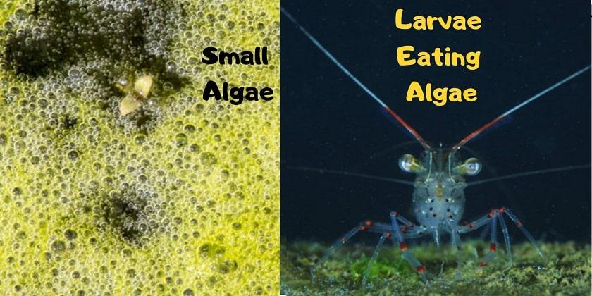 Small-Algae