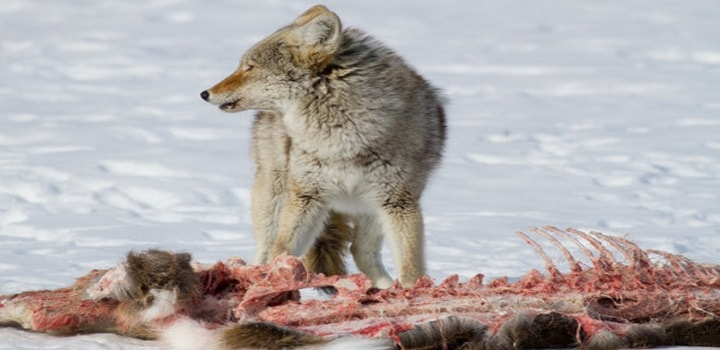 What-Do-Coyotes-Eat