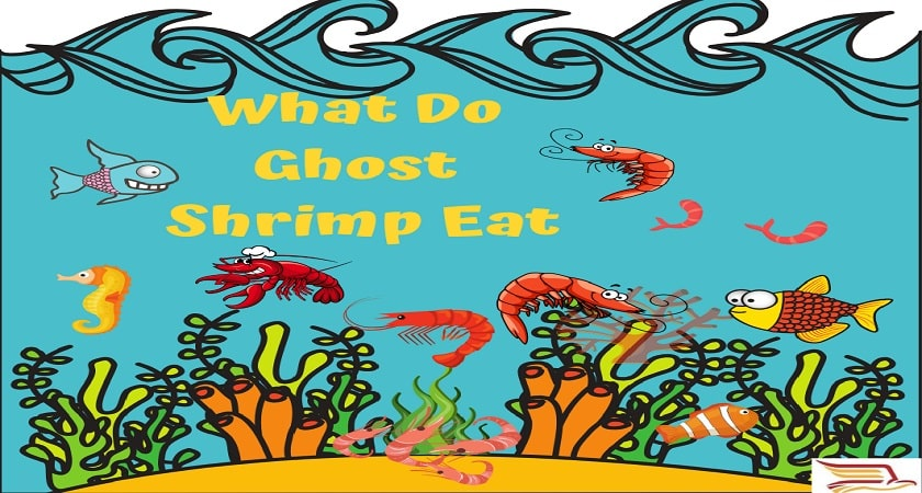 What-Do-Ghost-Shrimp-Eat