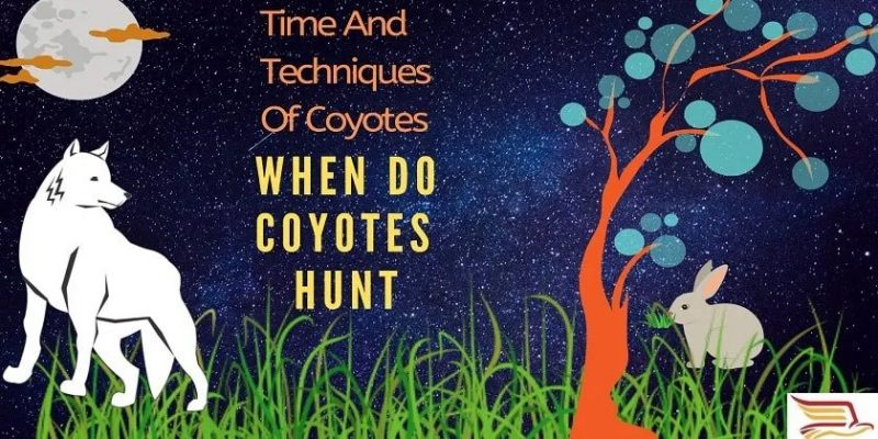 When-Do-Coyotes-Hunt
