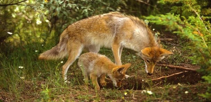 Where-Do-Coyotes-Den