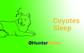 Where Do Coyotes Sleep