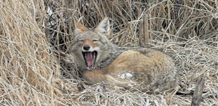Where-Do-Coyotes-Sleep-in-Desert