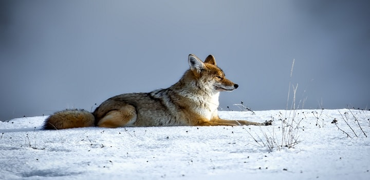 Where-Do-Coyotes-Sleep-in-the-winter