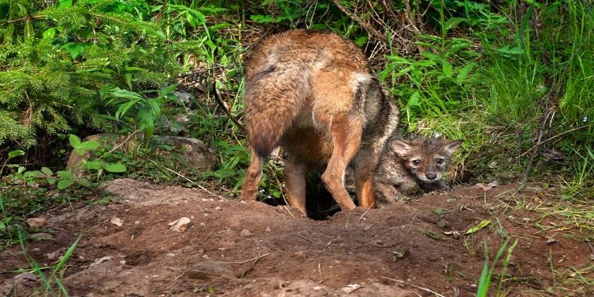 coyotes-den