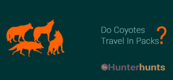 do coyotes travel in packs