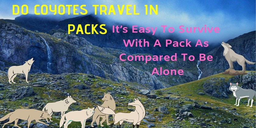 do-coyotes-travel-in-packs