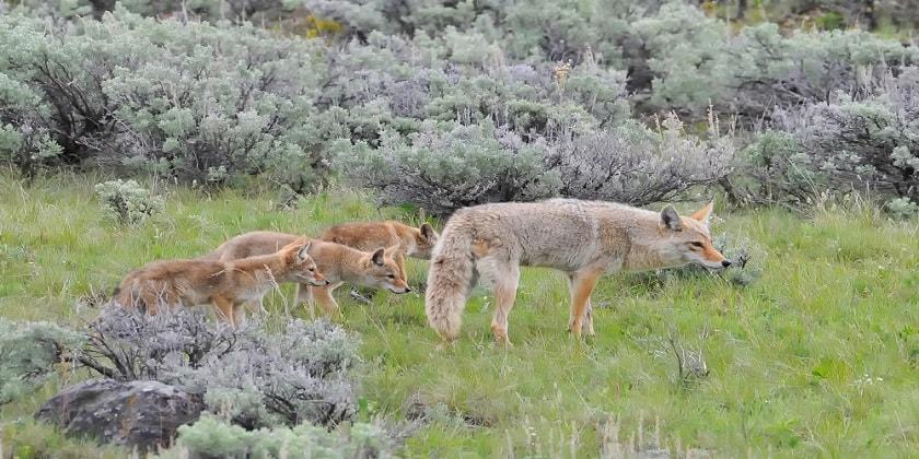 where-do-coyotes-live