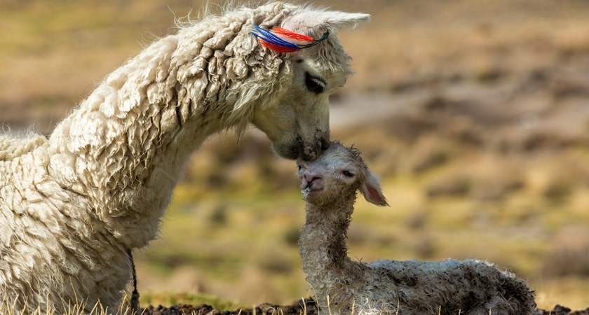 Alpacas-with-baby