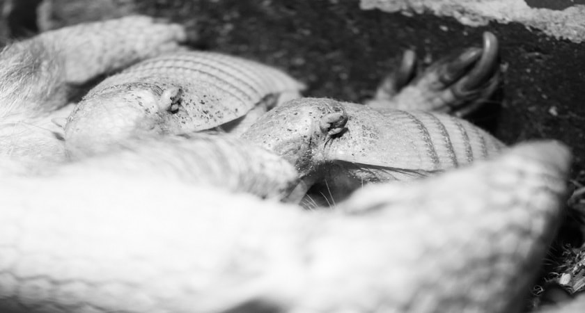 Armadillo-feeding-To-Baby