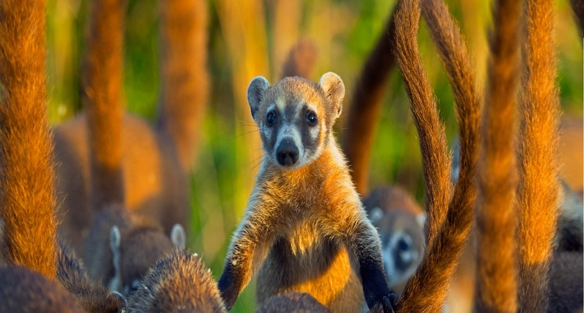 Cozumel-Island-of-Mexico-coati