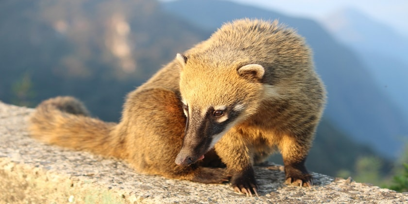 The-mountain-coati