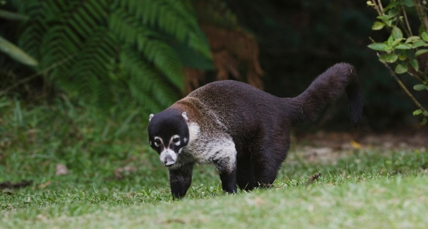 The-white-nosed-coati