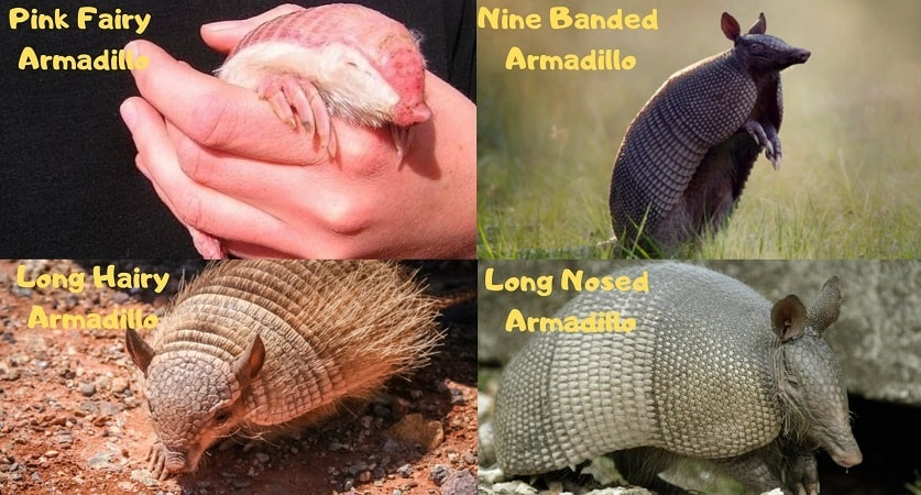 Type-Of-Armadillos