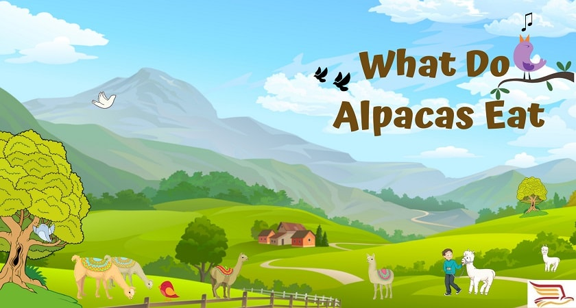 What-Do-Alpaca-Eat