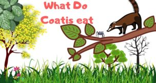 What-Do-Coatis-eat