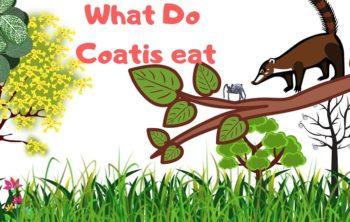 What-Do-Coatis-eat