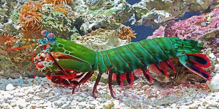 Mantis-Shrimp-In-Aquarium