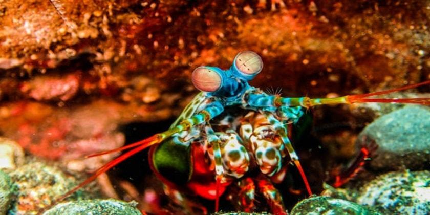 Punch-of-Mantis-shrimp