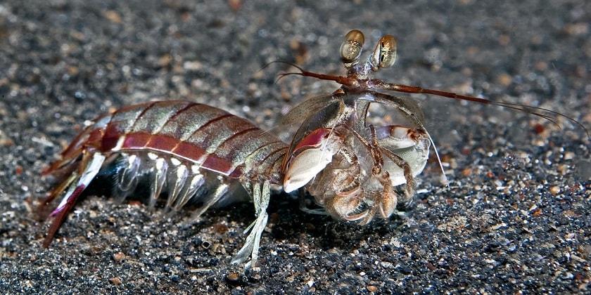 Smashers-Mantis-Shrimp