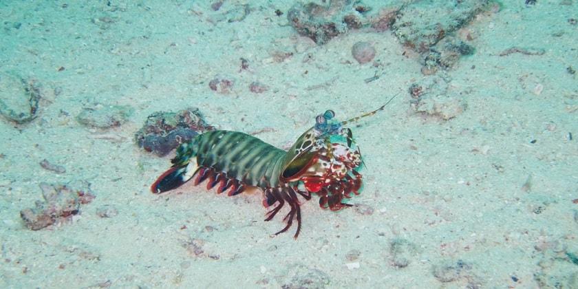 Spearers-Mantis-Shrimp