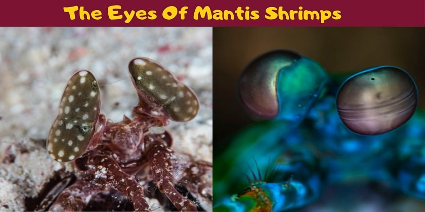 The-Eyes-Of-Mantis-Shrimps