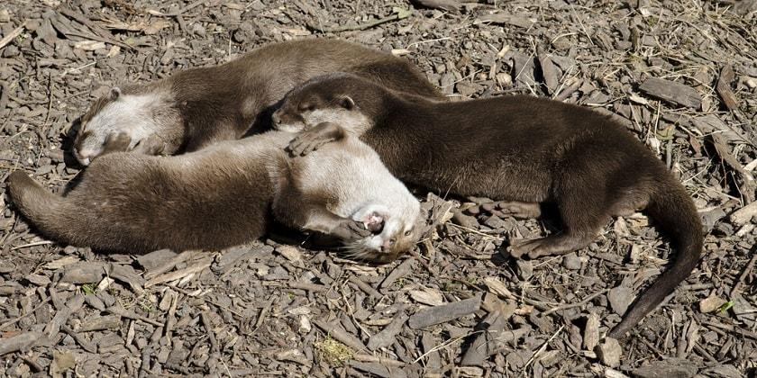 Weasels-Mate