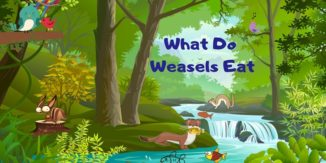 What-Do-Weasels-Eat