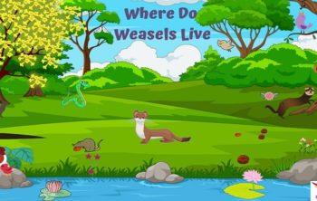 Where-Do-Weasels-Live