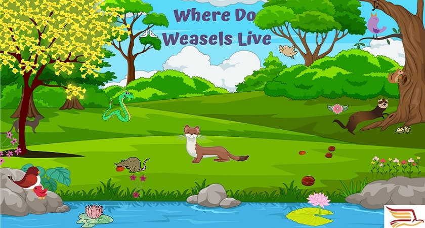 Where-Do-Weasels-Live