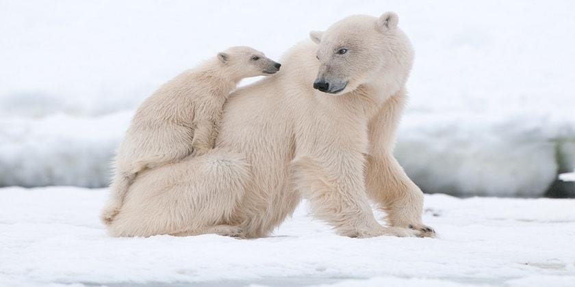 Care-Of-Polar-Bear-Cub