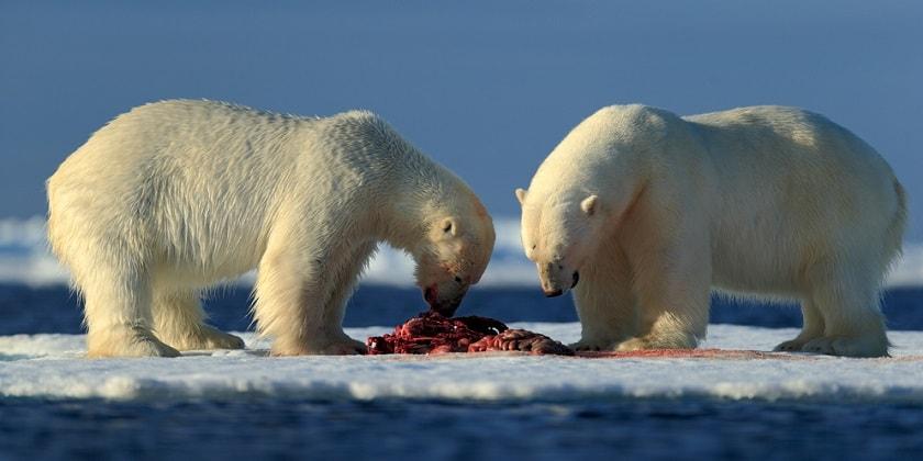 Hunting-By-Polar-Bears