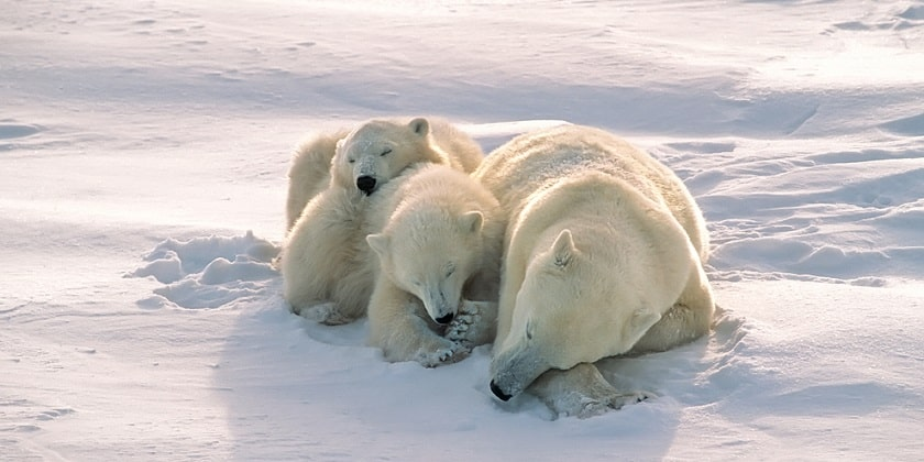 Polar-Bear-Sleeping-On-Ice