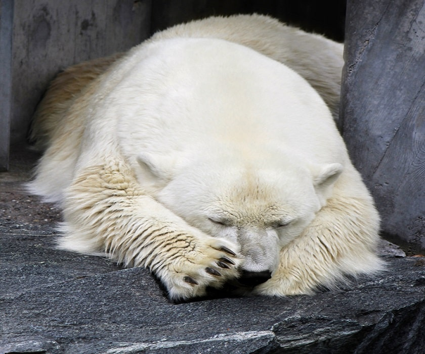 Polar-Bear-sleep-in-cave