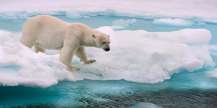 Polar-bear-Hunting-Secent