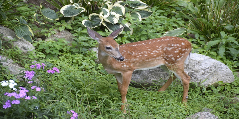 Do-Deer-Eat-Hostas