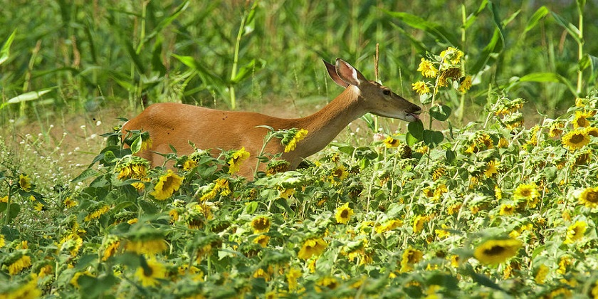 Do-Deer-Eat-Sunflowers