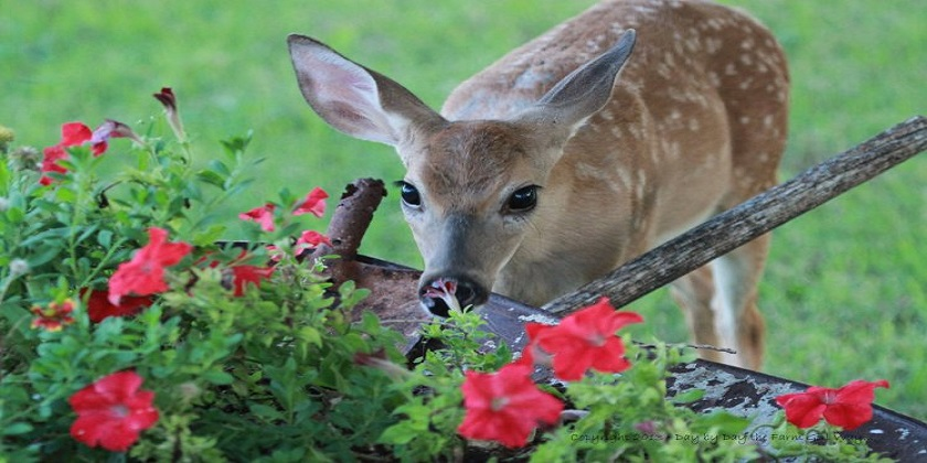 Do-deer-eat-petunias