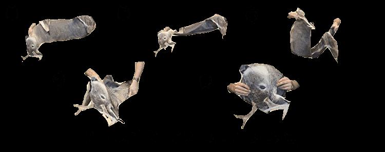 Freshman Whitetail Buck Decoy Steps to fold